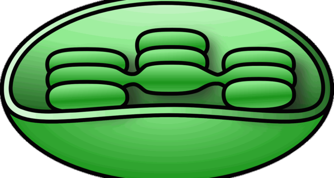 Chloroplast: Definition, Structure, Funcution