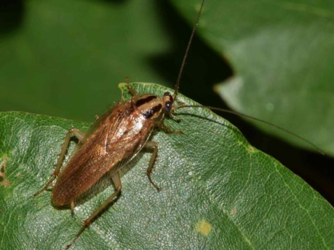 Cockroach Pictures And Facts