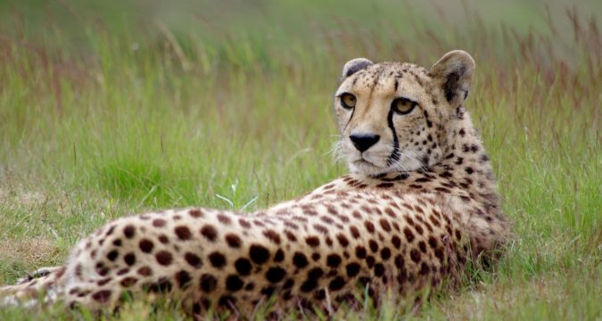 Amazing Facts About Cheetah